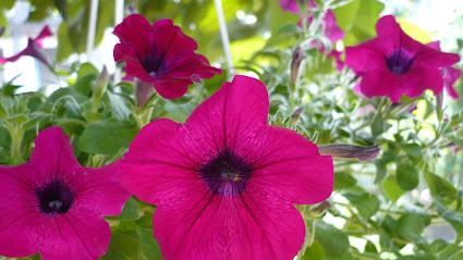 Kwiaty Na Balkon Poludniowy Twojogrodek Pl