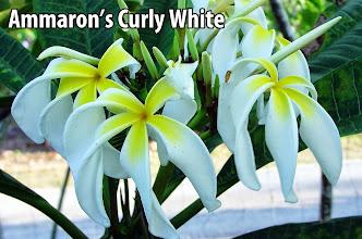 Photo: Ammaron's Curly White