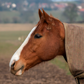 Waiting to come in by Mick Greaves - Animals Horses ( colour, face, horse, animal,  )
