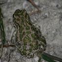 groene pad(Bufotes viridis)