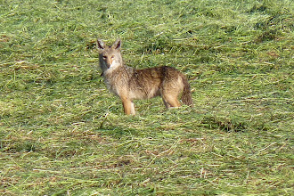 Photo: Coyote looking for voles in the fresh cut hay