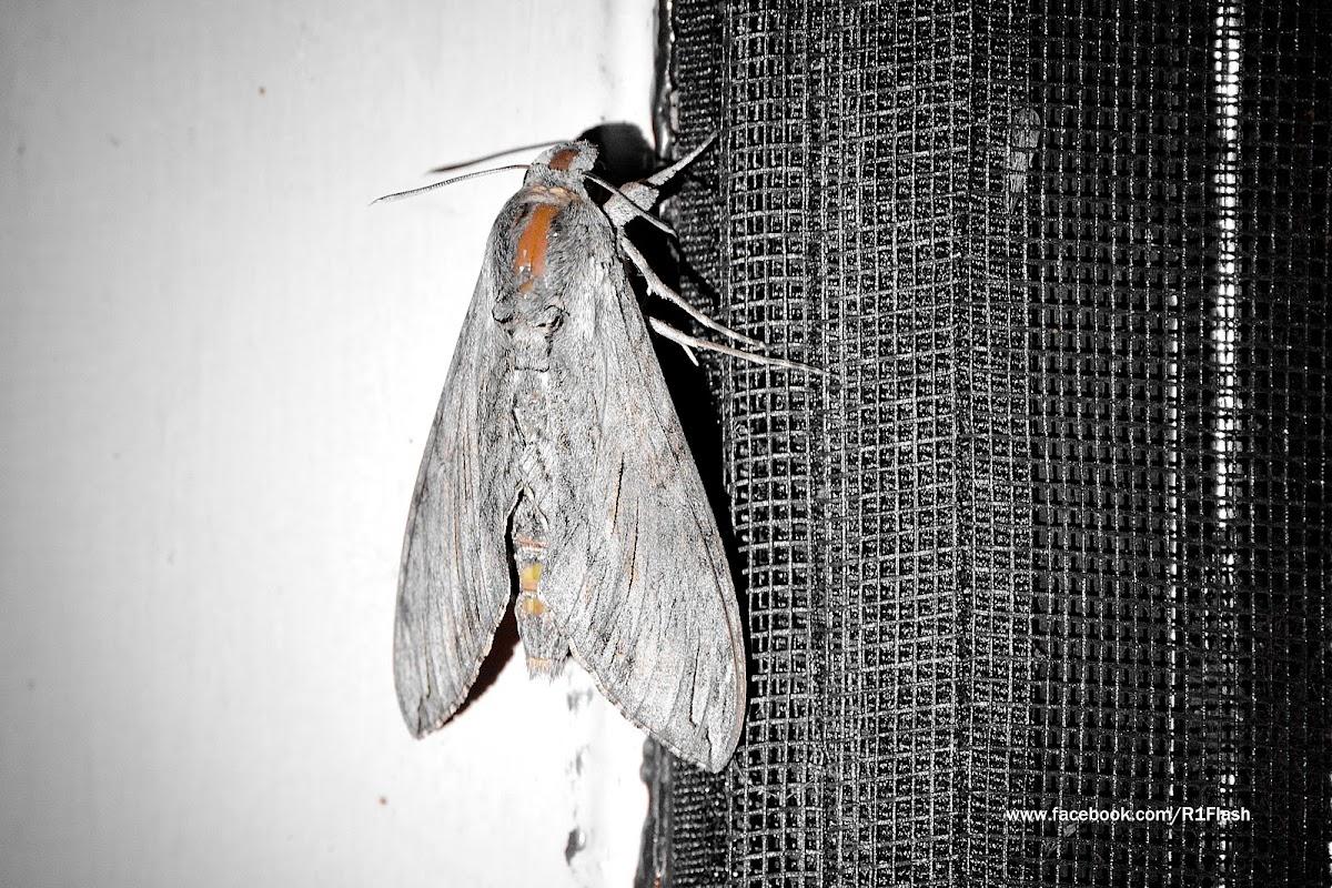 Sphingidae Hawk Moth