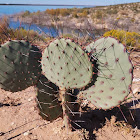 Long-spined Prickly Pear