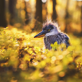Grey heron baby by Ondřej Chvátal - Animals Birds ( forest, beak, natural, bird of prey, nature, tree, nest, portrait, spring, light, feathers, wings, bird, sunset, baby, detail, wild, colorful, wildlife,  )