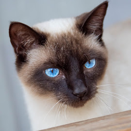 Blue eyes by Ansie Meintjes - Animals - Cats Portraits ( cat, blue eyes )