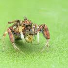 Brettus Jumping Spider