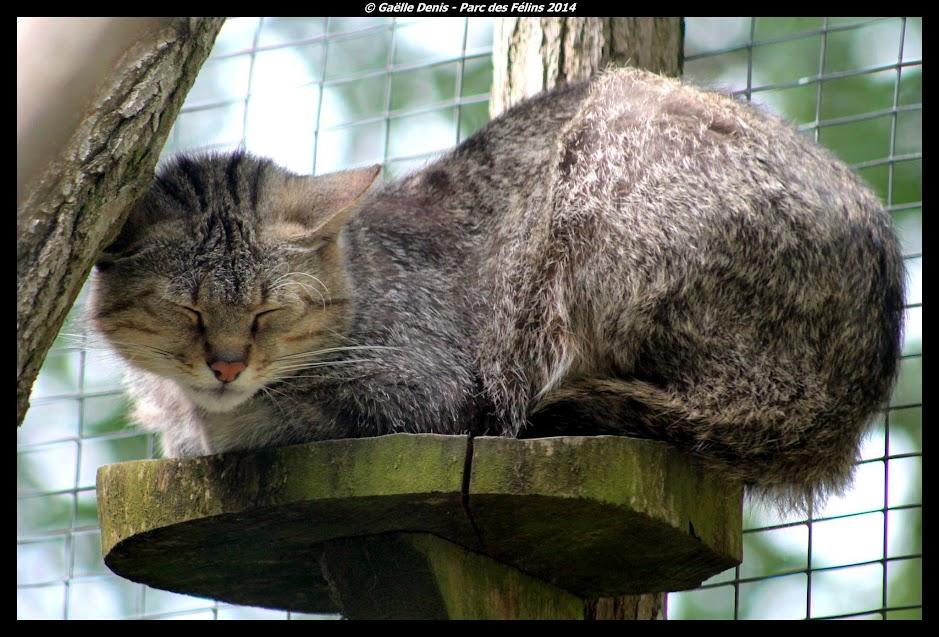 Chat sauvage européen, Parc des Félins - Tous droits réservés