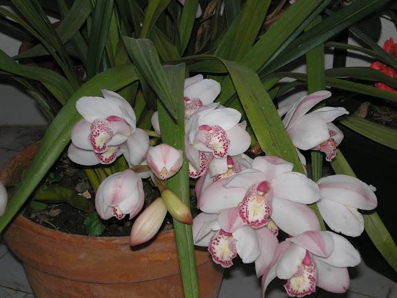 As minhas orquídeas, 2007