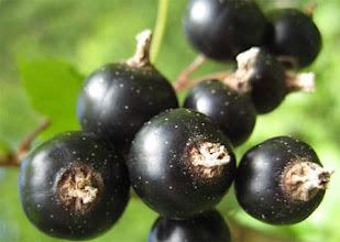 Photo: Black currant