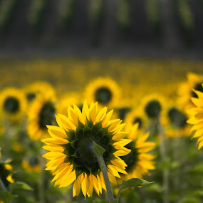 Sunflowers by Frans Scherpenisse - Flowers Flowers in the Wild ( hill, grapes, italy, sunflowers girasole )