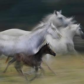 gallop by Milan Malovrh - Uncategorized All Uncategorized ( lipicanci )