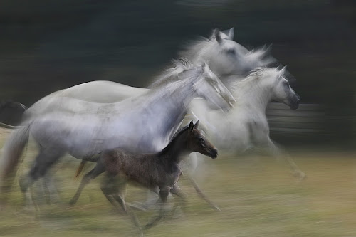 gallop by Milan Malovrh - Uncategorized All Uncategorized ( lipicanci )