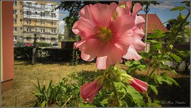Photo: Nalba de grădină (Alcea rosea sin Althaea)   din Turda,  Calea Victoriei, spatiu verde la bloc - 2019.07.10