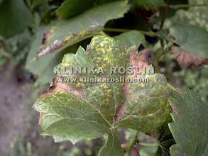 Photo: Mączniak rzekomy - późna forma infekcji wtórnej