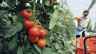 Recolección en un invernadero de tomates en una campaña anterior.