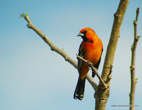 Photo: Adult male Streak-backed Oriole; Rancho Primavera, near Tuito, Jalisco