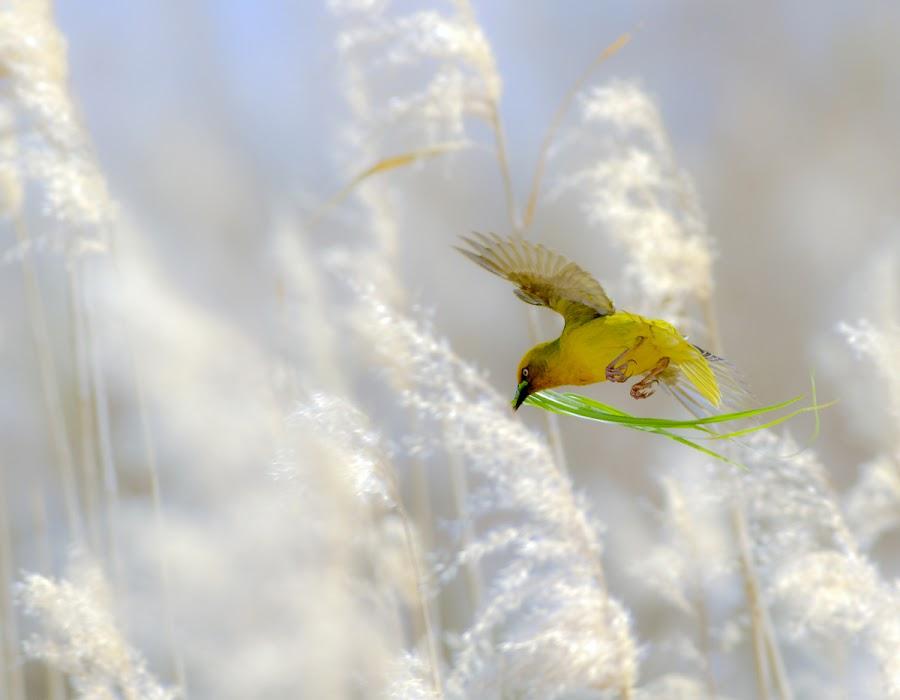 Cape weaver by Louis Groenewald - Animals Birds