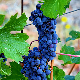 Wine Grapes* by Rob Bradshaw - Food & Drink Fruits & Vegetables ( wine grapes, food & drinks, fruit, walla walla, washington, wine, fruits & vegetables, grapes )
