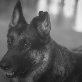 Wild Dog by William Boyea - Animals - Dogs Portraits ( german shepherd, doggie, doggy, black and white, shepherd, portrait, dog, dog portrait )