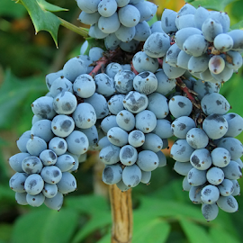 Bountiful Harvest by Gwen Paton - Food & Drink Fruits & Vegetables ( green, north carolina, blue, fruit, blue grapes,  )