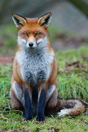 290px-Fox_study_6.jpg