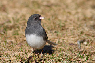 Photo: #BirdPoker: Sparrows curated by +Phil Armishaw  My cover for the dark-eyed juncos played earlier.