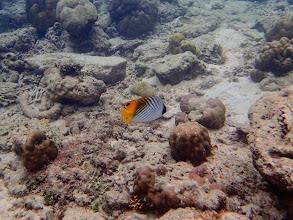Photo: Chaetodon auriga (Auriga Butterflyfish), Miniloc Island Resort reef, Palawan, Philippines.
