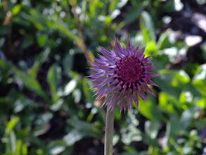 Photo: Thistle, about to open