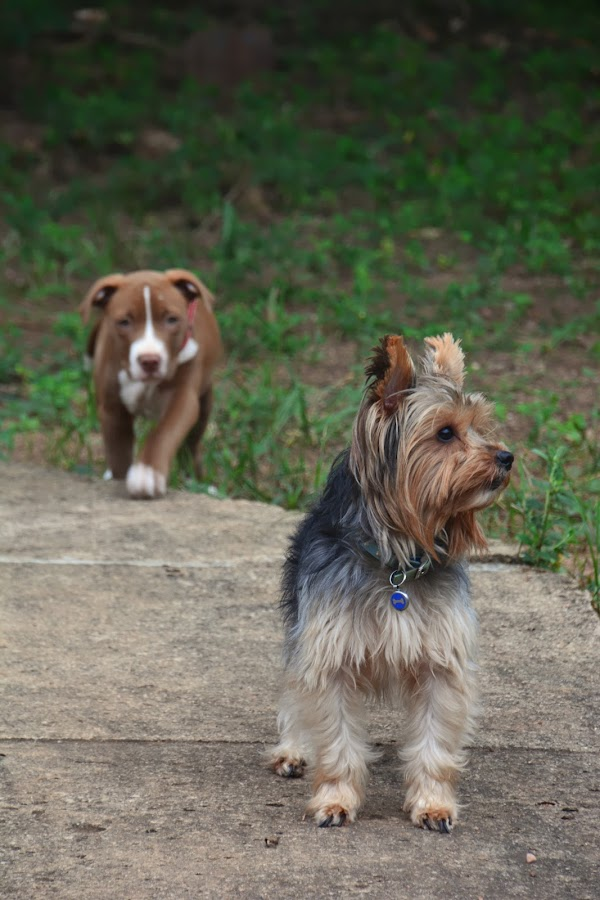 Friends by Danette de Klerk - Animals - Dogs Portraits ( canine, friends, yorkie, yorkshire, pitbull, puppy, dog,  )