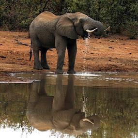 Seeing Double by Sheila Grobbelaar - Animals Other Mammals ( southafrica, loves_africa, krugerthroughmyeyes, awesome, elephant, safari, krugernationalpark, big5, africamazing, africa, natgeowild_hd, animal )