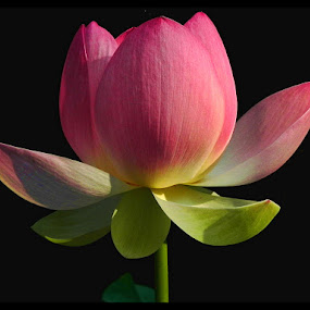 Lotus Flower by Lisa Powers - Nature Up Close Flowers - 2011-2013