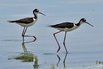 Photo: Black-necked Stilts