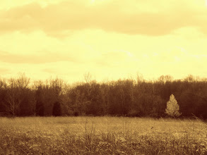 Photo: Sepia photo of a little blossoming pear tree at the edge of a field of Eastwood Park in Dayton, Ohio.