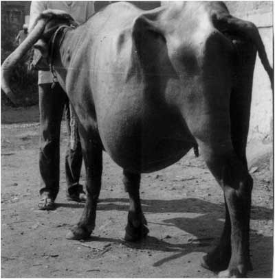 Left ventral hernia in a pregnant Nagpuri buffalo. (Photo Courtesy: Prof N.M. Markandeya, Parbhani Maharashtra, India).