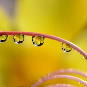 flower in dew by Vandie Ndie - Abstract Water Drops & Splashes