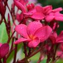 Frangipani - Flor de Mayo México