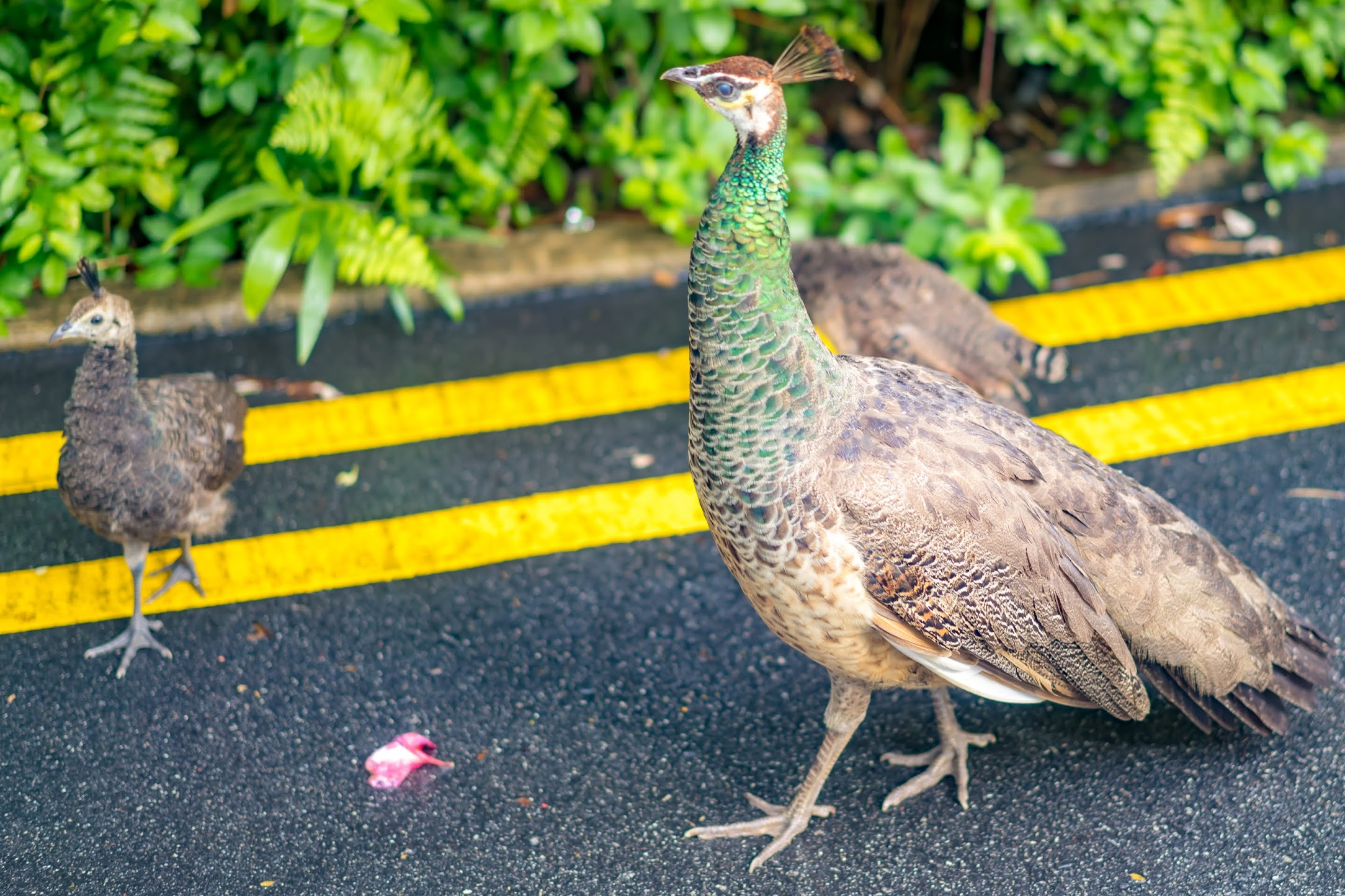 Singapore Sentosa Island peacock2