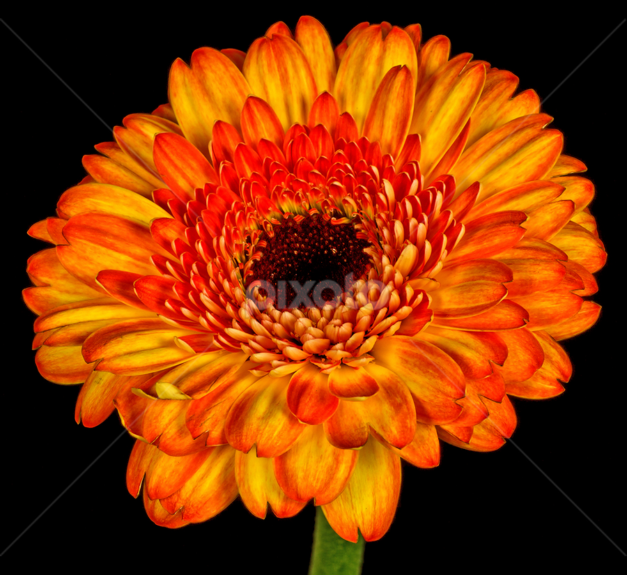 Gerbera by Peter Samuelsson - Nature Up Close Flowers - 2011-2013