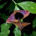 Noctuiod Moth