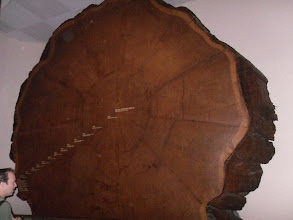 Photo: Very, VERY large tree (History Museum)