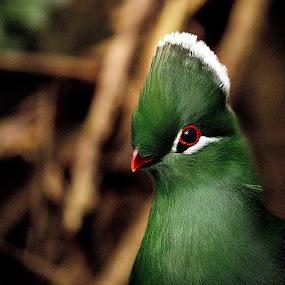 by Johann Fouche - Animals Birds ( lourie, knysna lourie, green, bird, colorful,  )
