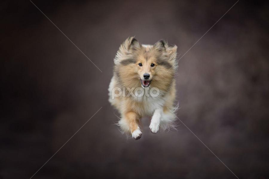Flying sheltie by 'Monique Smit - Animals - Dogs Running ( sheltie, forest, flying, animal )