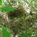 Northern Cardinal Nest with Eggs