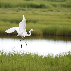 Great Egret taking off by Eddy Dufault - Animals Birds