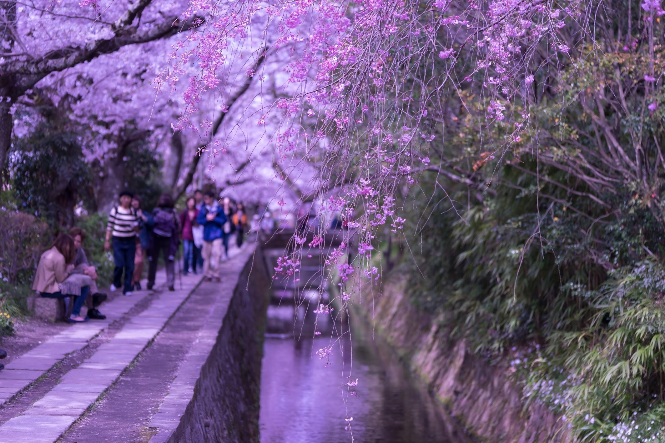 京都 桜 哲学の道1
