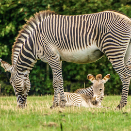 Mum and fosl by Garry Chisholm - Animals Other Mammals ( zebra, foal, nature, mammal, garry chisholm )