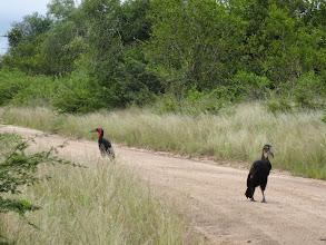 Photo: Hornbills