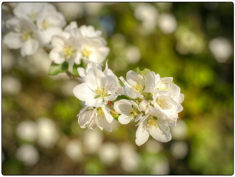 "Photo: ""Appleflowers"""