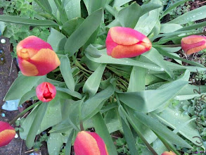 Photo: Tulips!!! in my front yard. Spring is a lovely time of year.