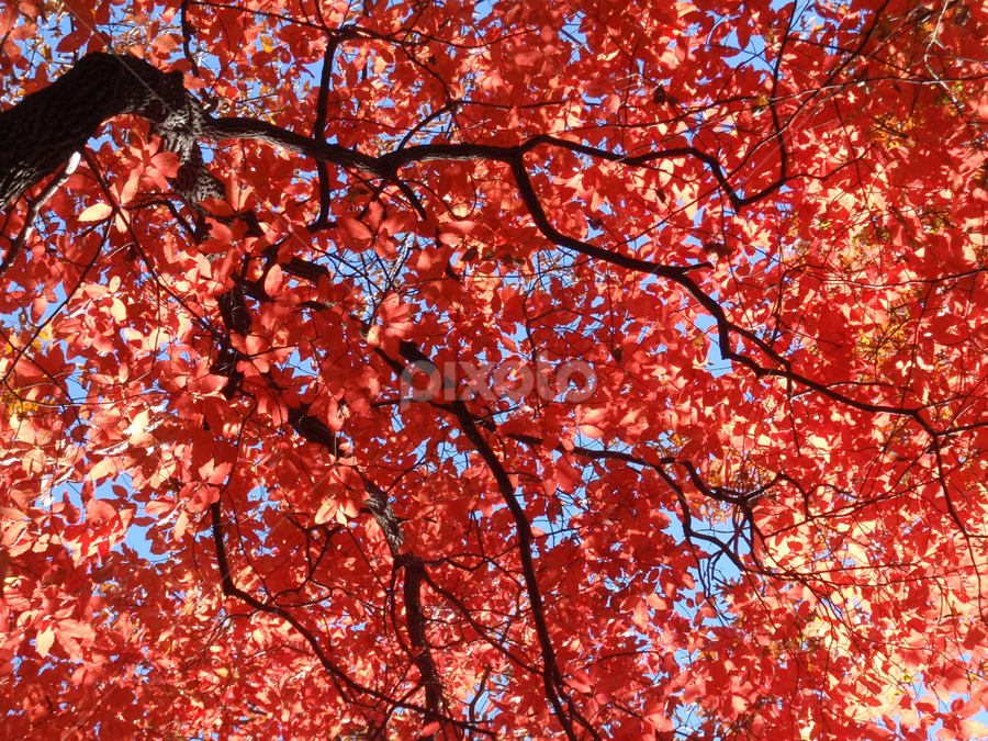 Red Leaves by Sheri Corriher - Novices Only Flowers & Plants ( tree, nature, fall, landscape, leaves )